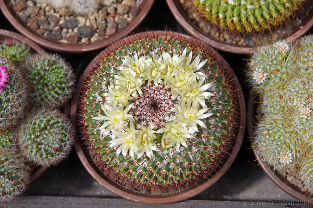 cactusbloemen in close up