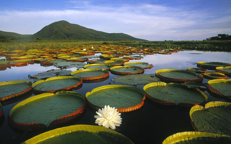 ?, Lily Pads Adorn The Waters Of Brazil's Pantanal Matogrossense Park